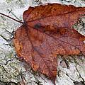 Autumn Leaf by Juergen Roth