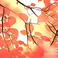 Autumn Leaves Ablaze With Color by Kim Fearheiley