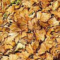 Autumn Leaves by Chris Koumantsiotis