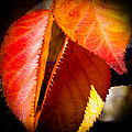 Autumn Leaves II by David Patterson