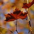 Autumn Leaves II by Dickon Thompson
