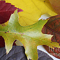 Autumn Leaves by Photo Researchers