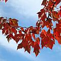 Autumn Leaves Tree Red Orange Art Prints Blue Sky White Clouds by Baslee Troutman