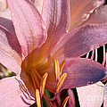 Autumn Lily by Susan Herber