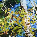 Autumn Maple by Bonnie Bruno