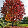 Autumn Maple Emphasized by Mick Anderson