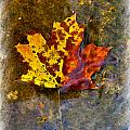 Autumn Maple Leaf In Water by Debbie Portwood