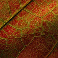 Autumn Maple Leaf by Nancy Griswold
