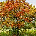 Autumn Maple Tree by Elena Elisseeva