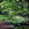 Autumn Maples by Celine Pollard
