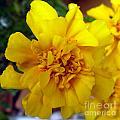Autumn Marigold 2 by Alys Caviness-Gober