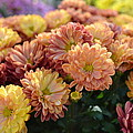 Autumn Mums by P S