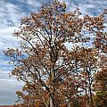 Autumn Oaks White Clouds by John Stephens