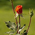 Autumn Rose by Mick Anderson