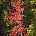Autumn Scene Of Colorful Red Tree Along The Little Manistee River In Michigan No. 0902 by Randall Nyhof