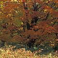 Autumn Tree by David Chapman