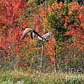 Autumn Vermont Geese And Color by Deborah Benoit