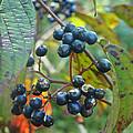 Autumn Viburnum Berries Series #2 by Mother Nature
