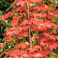Autumnal Acer by Steve Purnell