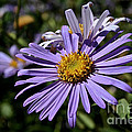 Autumn's Aster by Susan Herber