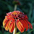 Autumn's Cone Flower by Susan Herber