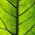 Avocado Leaf 2 by Jessica Velasco