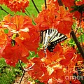 Azalea And Butterfly 1 by Sherman Perry