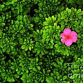 Azalea On Boxwoods by Mike Nellums
