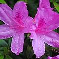 Azalea's In Spring Rain #1 by Charlie Day