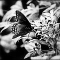 B N W Butterfly by Sheri Bartoszek