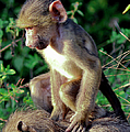 Baboon Baby by Ronel Broderick