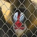 Baboon Behind Bars by Kym Backland