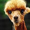 Baby Alpaca 1 by Scott Hovind