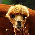 Baby Alpaca 2 by Scott Hovind