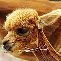 Baby Alpaca 3 by Scott Hovind