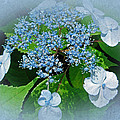 Baby Blue Lace Cap Hydrangea by Mother Nature