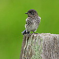 Baby Bluebird On Post by Robert Frederick