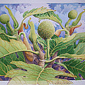 Baby Breadfruit by Vincent Callagher