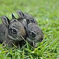 Baby Bunnies by Christine Stonebridge