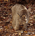 Baby Canada Lynx Stalking A Squirrel by Inspired Nature Photography Fine Art Photography