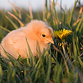 Baby Chick In Green Grass by Cindy Singleton