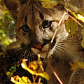 Baby Cougar Playing Peek A Boo In Autumn Forest by Inspired Nature Photography Fine Art Photography