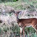 Baby Deer At Viera by Jeanne Andrews