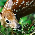 Baby Deer by Mike Kurec