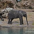 Baby Elephant by Carol  Bradley
