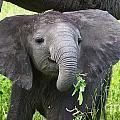Baby Elephant With A Twig by Mareko Marciniak