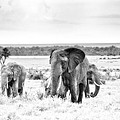 Baby Elephants -black And White by Babur Yakar