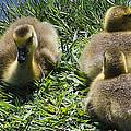Baby Geese by LeeAnn McLaneGoetz McLaneGoetzStudioLLCcom