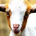 Baby Goat 1 by Scott Hovind