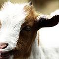 Baby Goat 2 by Scott Hovind